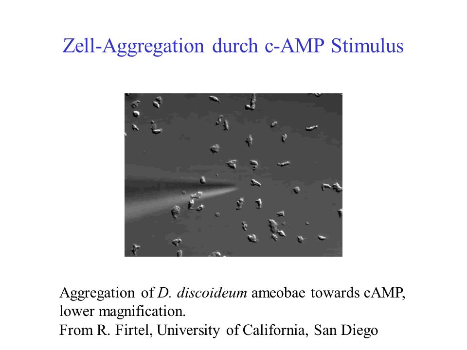 Zell-Aggregation durch c-AMP Stimulus Aggregation of D.