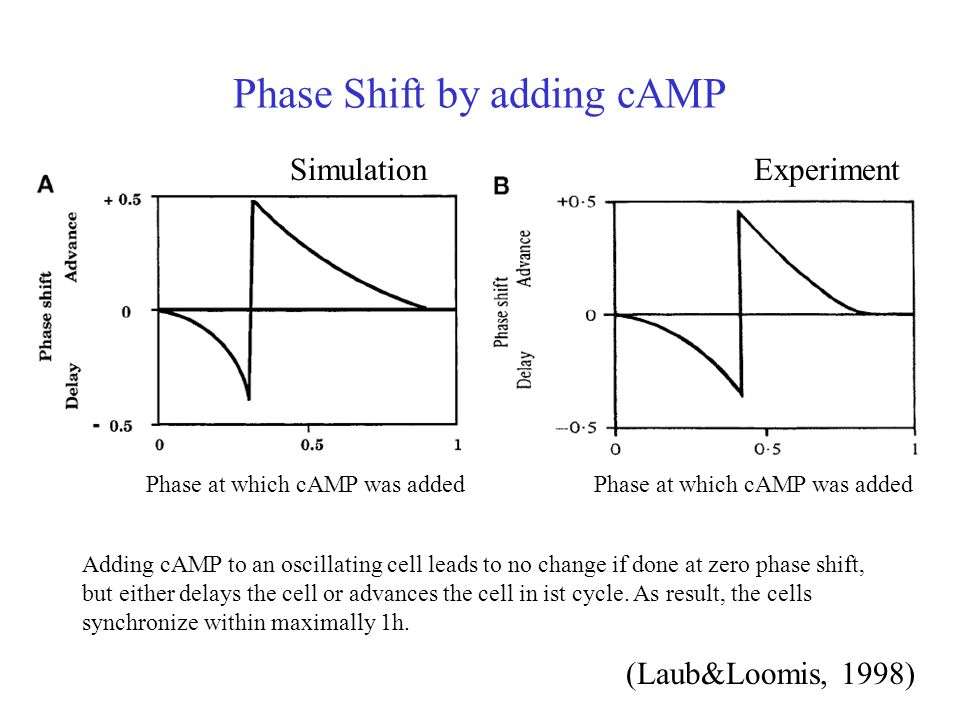 Phase Shift by adding cAMP SimulationExperiment (Laub&Loomis, 1998) Phase at which cAMP was added Adding cAMP to an oscillating cell leads to no change if done at zero phase shift, but either delays the cell or advances the cell in ist cycle.