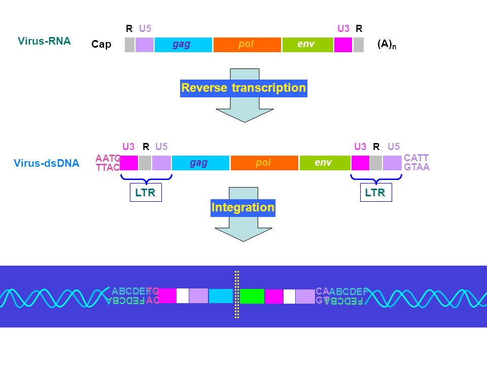 Cap (A) n gagpolenv PBSPPT U3 R R R Region: A short ( nt) sequence which forms a direct repeat at the both ends of the genome, which is therefore terminally redundant .