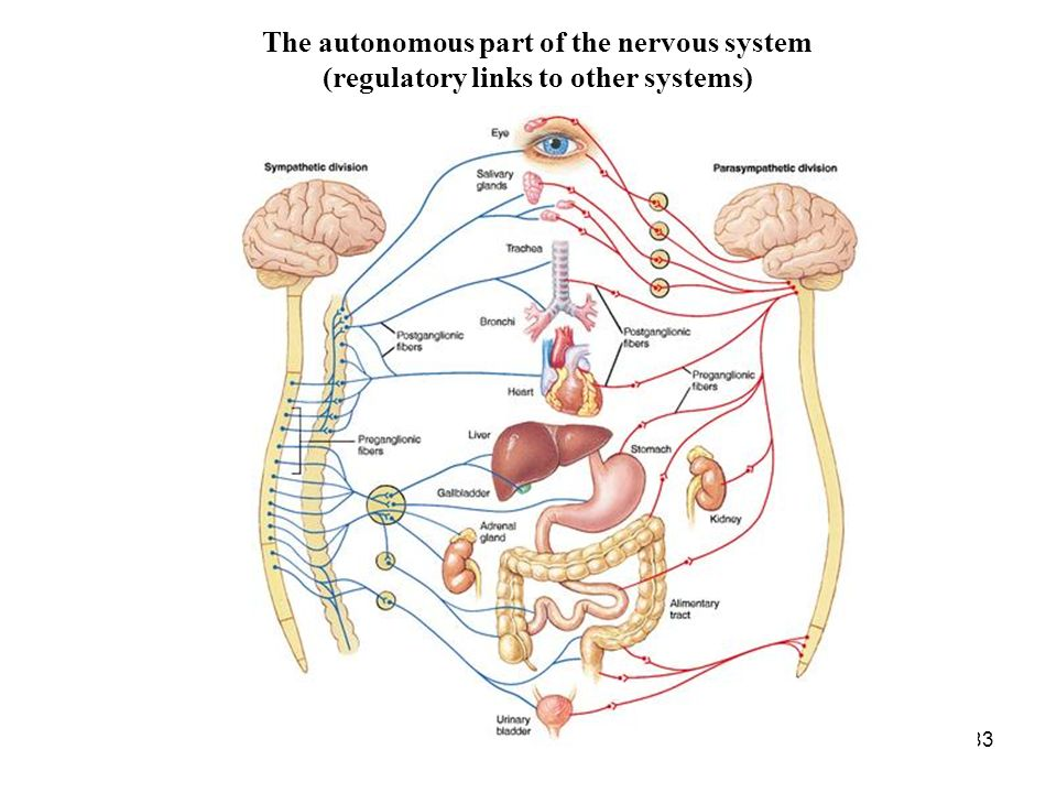83 The autonomous part of the nervous system (regulatory links to other systems)
