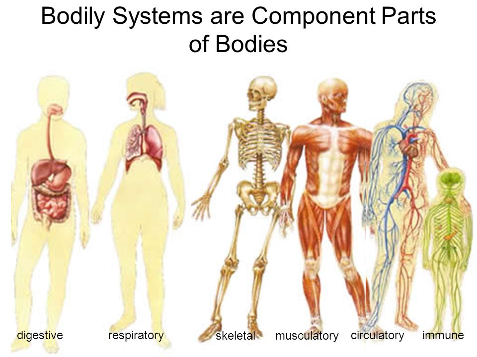 85 Bodily Systems are Component Parts of Bodies respiratorydigestive skeletal circulatory musculatory immune