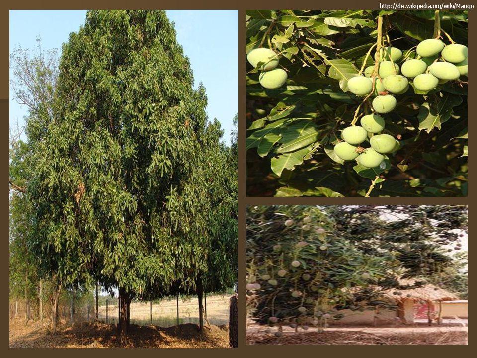 Mango Mangifera Indica Ppt Video Online Herunterladen
