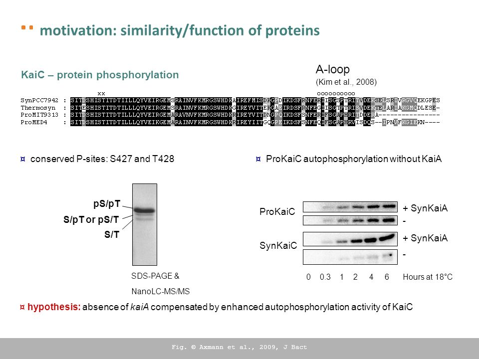 KaiC – protein phosphorylation ¤ conserved P-sites: S427 and T428 pS/pT S/pT or pS/T S/T SDS-PAGE & NanoLC-MS/MS - + SynKaiA 0 0.3 1 2 4 6 Hours at 18°C ProKaiC SynKaiC - + SynKaiA ¤ ProKaiC autophosphorylation without KaiA ¤ hypothesis: absence of kaiA compensated by enhanced autophosphorylation activity of KaiC A-loop (Kim et al., 2008) Fig.