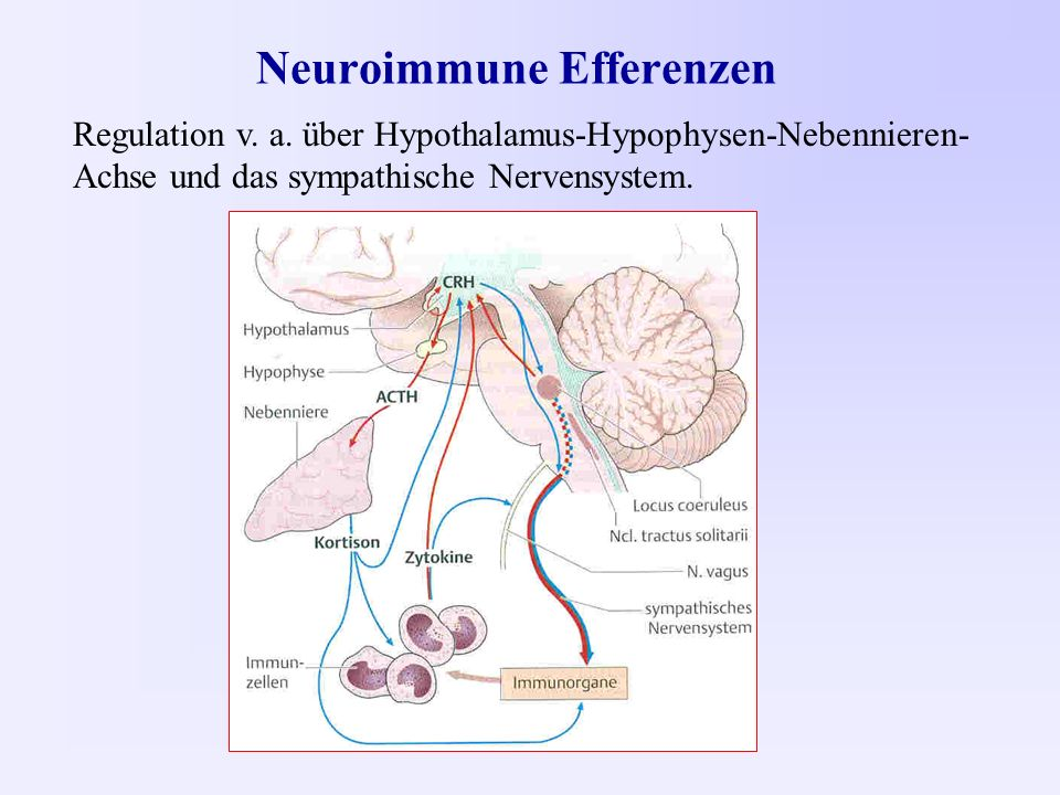 Neuroimmune Efferenzen Regulation v. a.