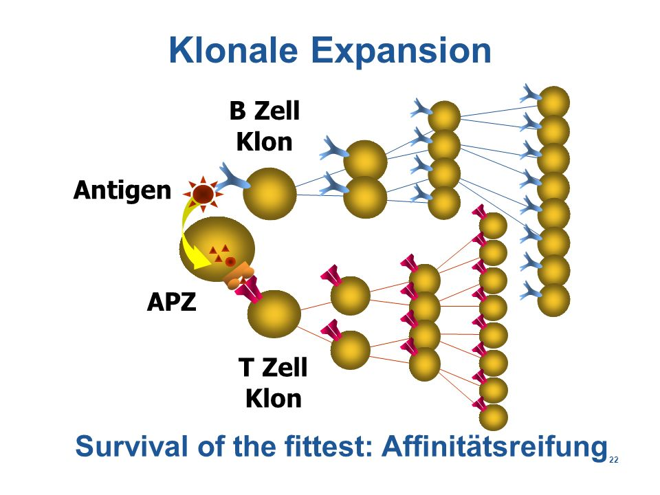 22 Klonale Expansion Antigen B Zell Klon T Zell Klon APZ Survival of the fittest: Affinitätsreifung