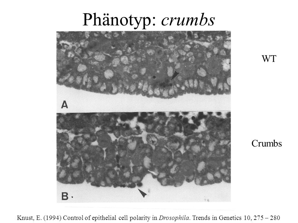 Knust, E. (1994) Control of epithelial cell polarity in Drosophila.