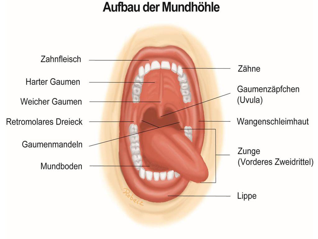 Nett Mundhöhle Galerie - Anatomie Von Menschlichen Körperbildern ...